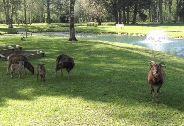 Chèvres dans le camping 3 étoiles